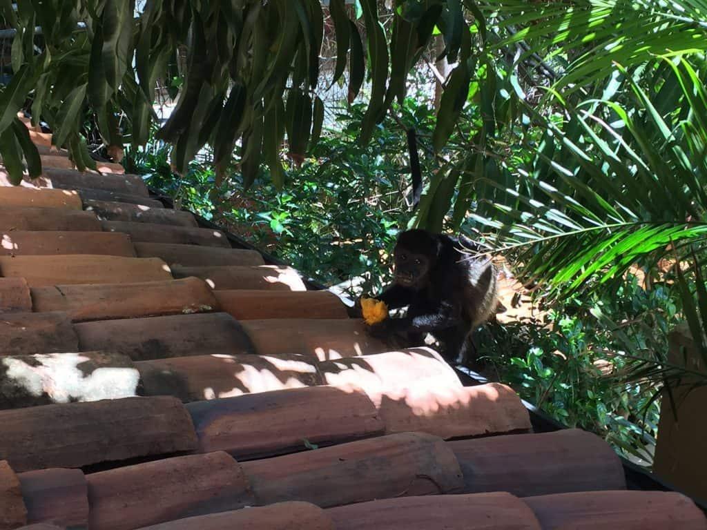 jardin-del-eden-boutique-hotel-review-howler-monkey-with-mango-1024x768-1967161