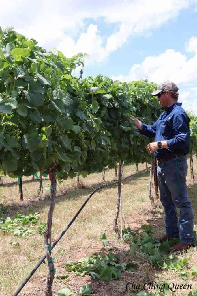 kuhlman-cellars-vineyard-texas-grapes-683x1024-4719225